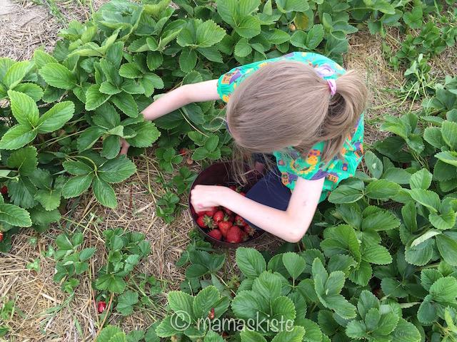 Erdbeereis pflücken