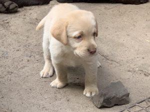 Welpe Familienhund
